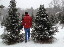... my husband searches for the perfect tree.. .